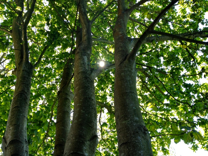 Sun Through The Sycamore ~ Anita Flowers Tree